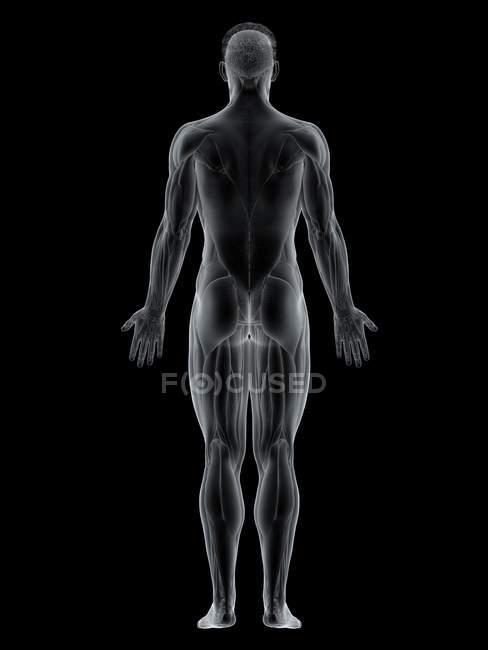 Corpo maschile con visibile colorato Muscolo della schiena, illustrazione del computer . — Foto stock