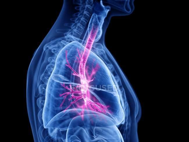 Silueta masculina transparente con bronquios visibles, ilustración por ordenador . - foto de stock