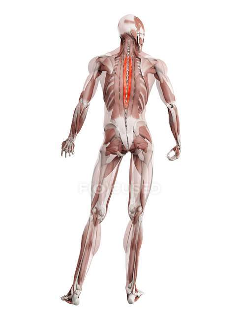 Physical male figure with detailed Spinalis thoracis muscle, digital illustration. — Stock Photo
