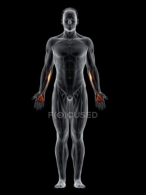 Cuerpo masculino abstracto con músculo Palmaris longus detallado, ilustración por ordenador . - foto de stock