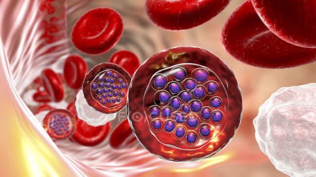 Protozoos Plasmodium falciparum, agente causal de la malaria tropical en los vasos sanguíneos, ilustración digital . - foto de stock