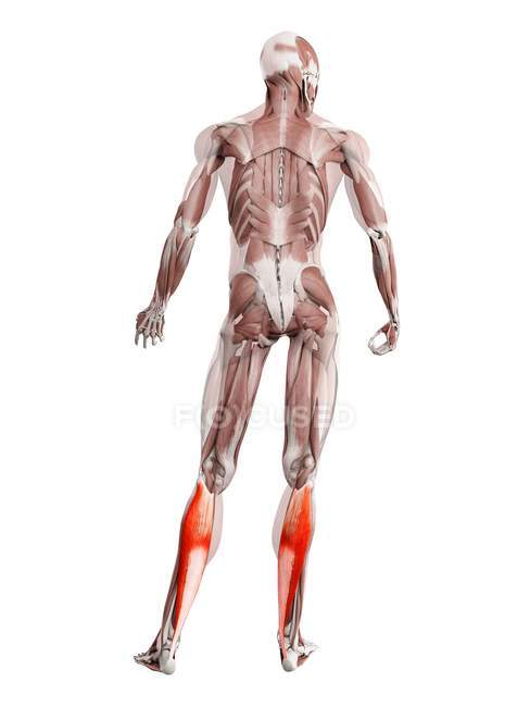 Physical male figure with detailed Soleus muscle, digital illustration. — Stock Photo