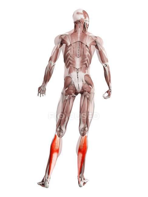 Мужская фигура с подробной мускулатурой Soleus, цифровая иллюстрация. — стоковое фото