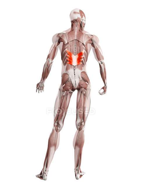 Physical male figure with detailed Serratus posterior inferior muscle, digital illustration. — Stock Photo