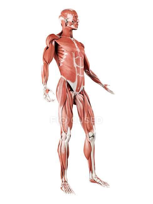 Musculatura masculina en longitud completa, ilustración digital aislada sobre fondo blanco . - foto de stock
