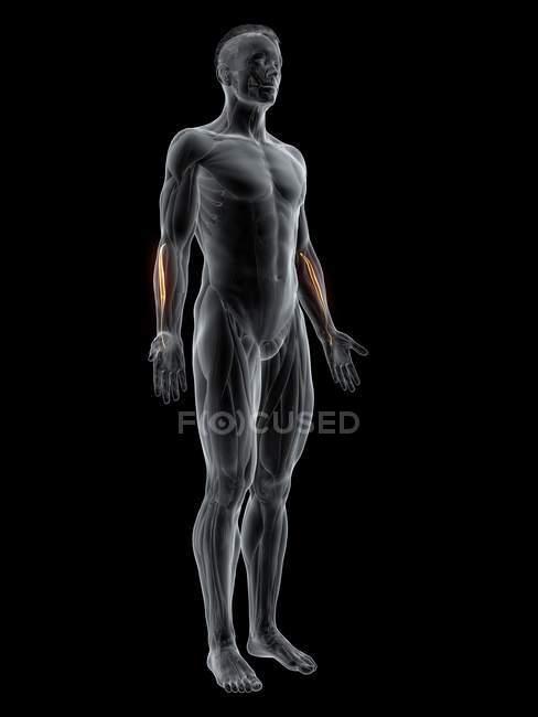 Figura masculina abstracta con músculo Carpi radialis brevis detallado, ilustración por ordenador . - foto de stock