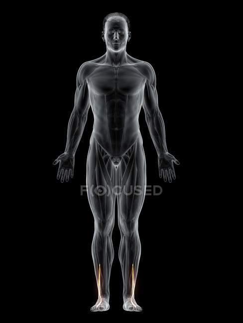 Cuerpo masculino abstracto con músculo Peroneus brevis detallado, ilustración por computadora . - foto de stock