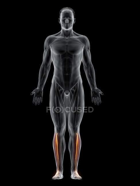 Cuerpo masculino con el músculo largo visible coloreado del digitorum del extensor, ilustración del ordenador . - foto de stock