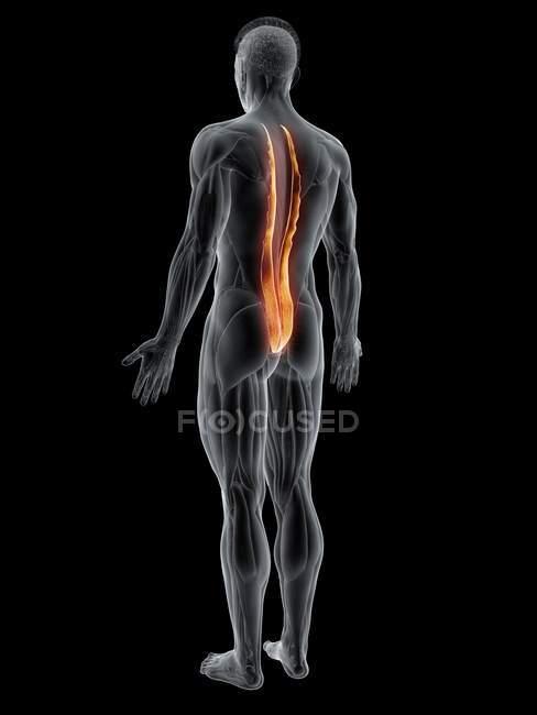 Corpo maschile astratto con muscolo toracico Longissimus dettagliato, illustrazione al computer . — Foto stock