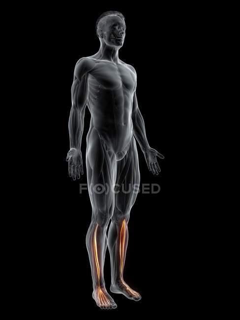 Figura maschile astratta con dettagliato muscolo allungatore digitorum longus, illustrazione al computer . — Foto stock