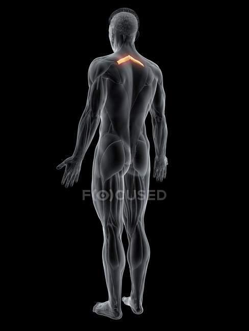 Figura masculina abstracta con músculo menor romboide detallado, ilustración por computadora . - foto de stock