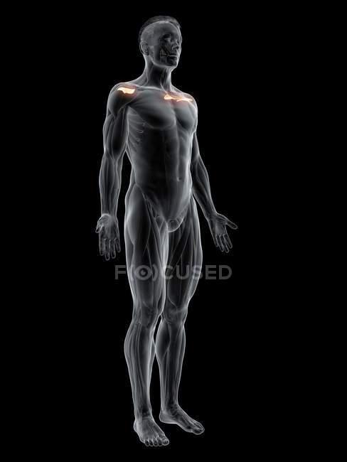 Figura masculina abstracta con músculo Supraspinatus detallado, ilustración digital . - foto de stock