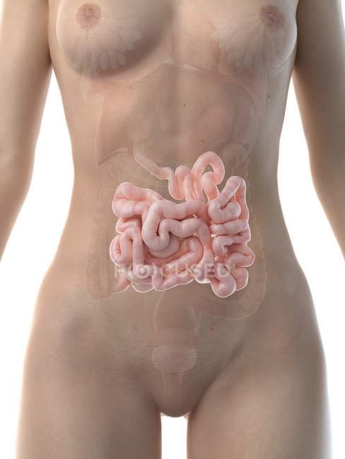 Figura anatómica femenina con intestino delgado detallado, ilustración por computadora . - foto de stock