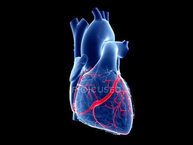 Vene coronarie, illustrazione computerizzata. — Foto stock