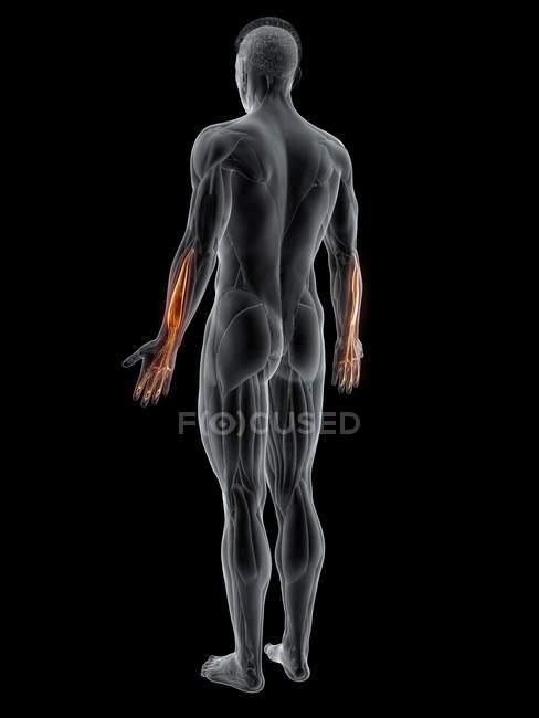 Cuerpo masculino abstracto con músculo digital extensor detallado, ilustración por computadora . - foto de stock