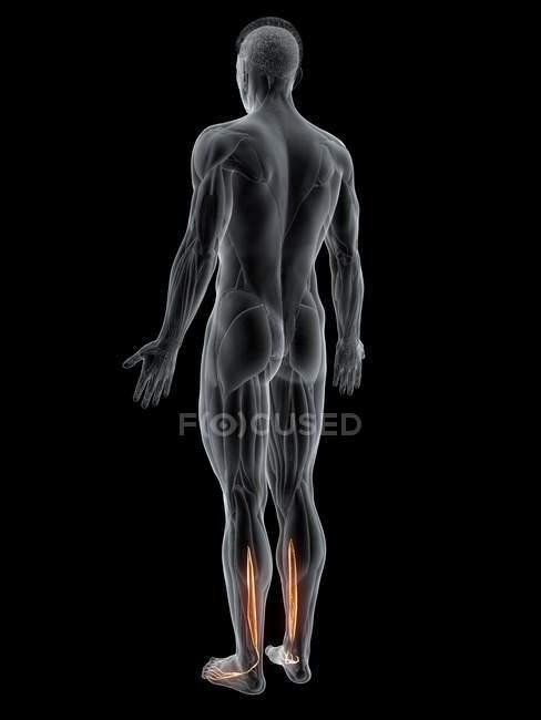 Cuerpo masculino abstracto con músculo largo Flexor digitorum detallado, ilustración por ordenador . - foto de stock
