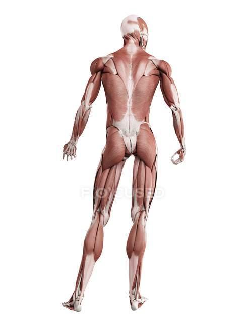 Musculatura masculina en longitud completa, vista trasera, ilustración digital aislada sobre fondo blanco . - foto de stock