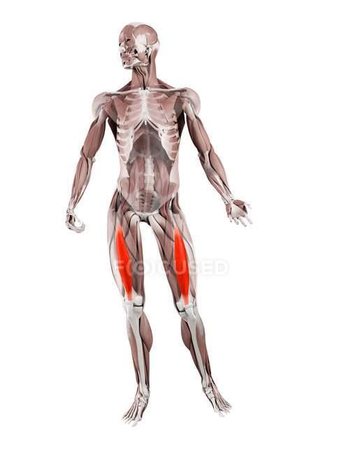 Физическая мужская фигура с детализированной промежуточной мышцей, цифровая иллюстрация . — стоковое фото