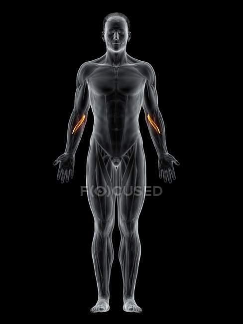Corpo masculino abstrato com músculo Pronator redondo detalhado, ilustração computacional . — Fotografia de Stock