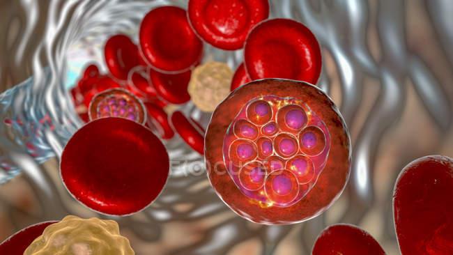 Plasmodium vivax protozoos dentro del vaso sanguíneo, ilustración digital . - foto de stock