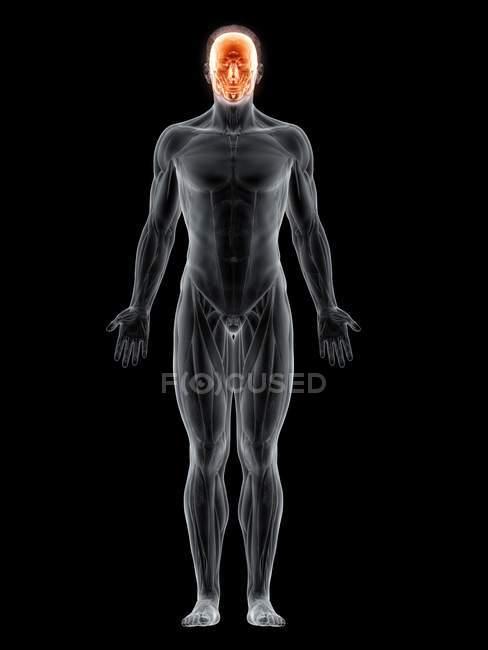 Figura masculina con músculos faciales resaltados, ilustración digital . - foto de stock
