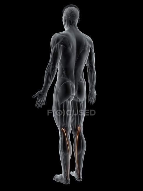 Figura masculina abstracta con músculo Plantaris detallado, ilustración por computadora . - foto de stock