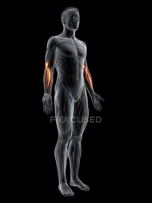 Figura masculina abstracta con músculo braquiorradial detallado, ilustración por computadora . - foto de stock