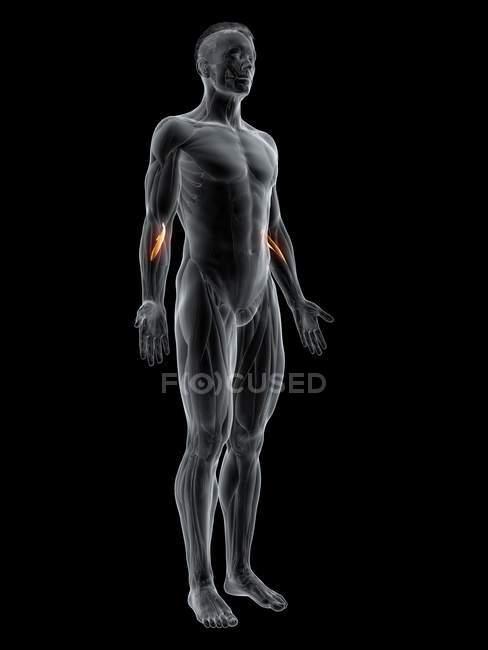 Figura masculina abstracta con músculo Pronator teres detallado, ilustración digital . - foto de stock