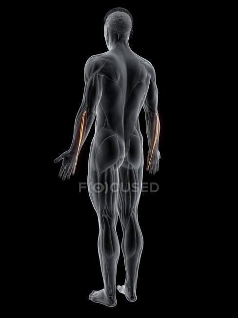 Cuerpo masculino abstracto con músculo Extensor digiti minimi detallado, ilustración por ordenador . - foto de stock