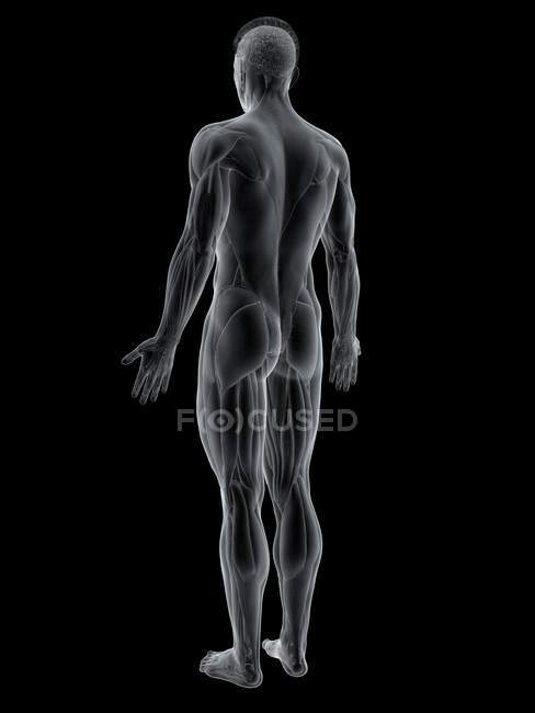 Abstract male figure showing back muscles, computer illustration. — Stock Photo