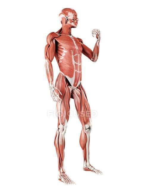Musculatura masculina em comprimento total, ilustração digital isolada sobre fundo branco . — Fotografia de Stock