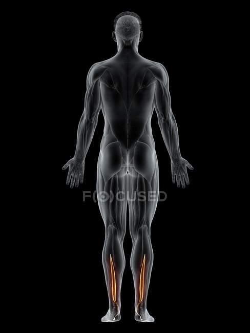 Cuerpo masculino con músculo flexor hallucis de color visible, ilustración por ordenador . - foto de stock