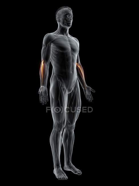Abstrakte männliche Figur mit detailliertem Extensor carpi radialis longus Muskel, Computerillustration. — Stockfoto