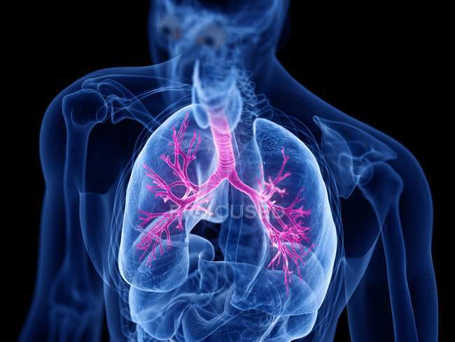 Cuerpo masculino anatómico con bronquios de colores, ilustración por computadora . - foto de stock