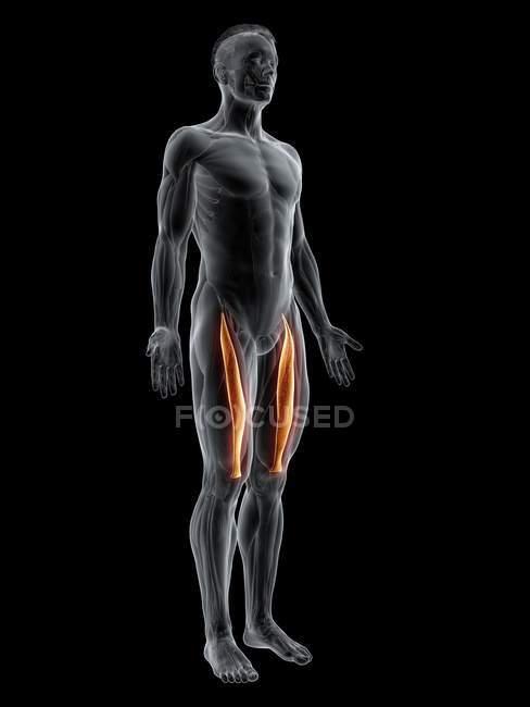 Figura masculina abstracta con músculo recto femoral detallado, ilustración digital . - foto de stock