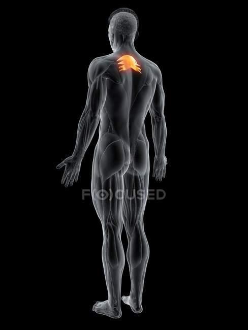 Figura masculina abstracta con detallado músculo superior posterior Serratus, ilustración por ordenador . - foto de stock
