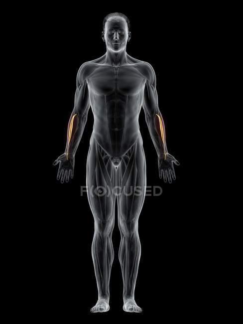 Cuerpo masculino con músculo Extensor carpi radialis brevis de color visible, ilustración por ordenador . - foto de stock