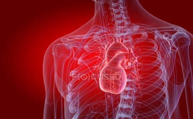 Corazón humano, ilustración por ordenador - foto de stock