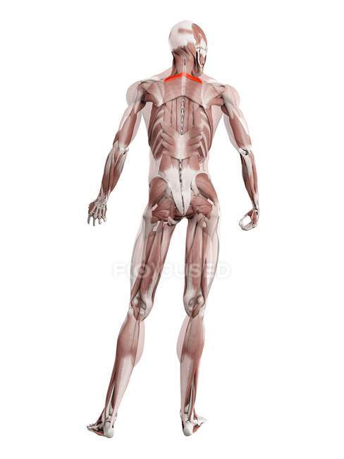 Physical male figure with detailed Rhomboid minor muscle, digital illustration. — Stock Photo