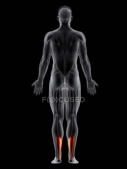 Ахиллесово сухожилие, компьютерная иллюстрация. — стоковое фото
