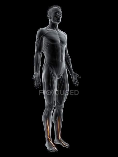 Figura masculina abstrata com músculo extensor longo do hálux detalhado, ilustração do computador . — Fotografia de Stock