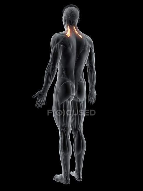 Cuerpo masculino abstracto con el músculo escapular del elevador detallado, ilustración de la computadora . - foto de stock