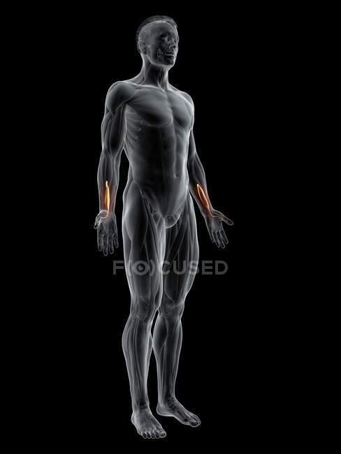 Figura masculina abstrata com músculo longo do polegar de Flexor detalhado, ilustração digital . — Fotografia de Stock