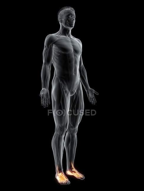 Figura masculina con músculos de los pies resaltados, ilustración digital . - foto de stock