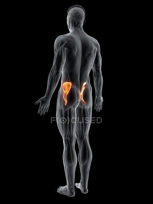 Abstrakter männlicher Körper mit detailliertem Iliacus-Muskel, Computerillustration. — Stockfoto