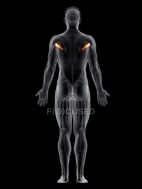 Cuerpo masculino con Teres de color visible músculo mayor, ilustración por ordenador . - foto de stock