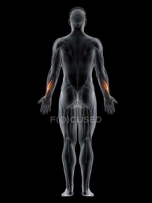 Cuerpo masculino con un color visible Abductor pólizas musculosas, ilustración informática.. - foto de stock