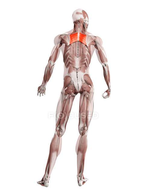 Physical male figure with detailed Rhomboid major muscle, digital illustration. — Stock Photo
