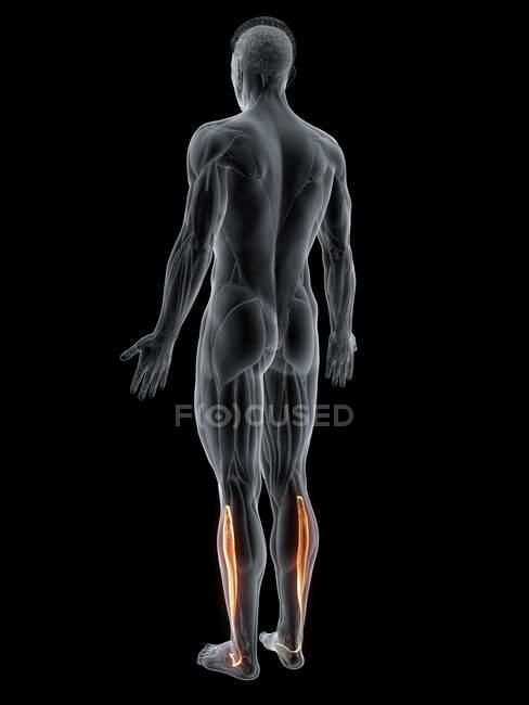 Figura masculina abstracta con músculo largo detallado de Peroneus, ilustración por computadora . - foto de stock