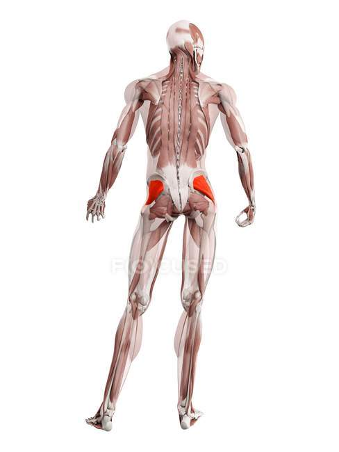 Physical male figure with detailed Gluteus minimus muscle, digital illustration. — Stock Photo
